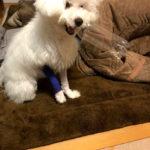 愛犬の骨折をギプスで治す(4週間目)